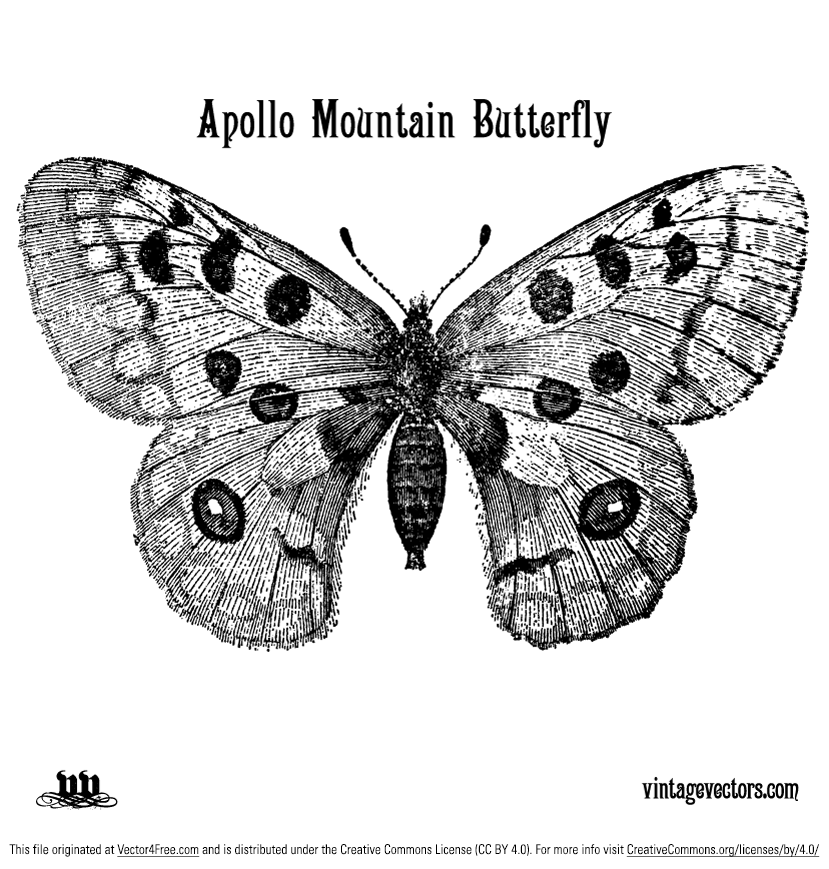 Download and enjoy this free vector illustration of an Apollo Butterfly. This vector butterfly is a beautiful white butterfly with two red, black edged eye marks on its wings. The real life Apollo butterfly has long been prized by collectors, who aim to possess as many of the variants as possible.